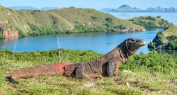 Komodo dragon. ( Varanus komodoensis ) Biggest in the world living lizard in natural habitat. Rinca Island. Indonesia.