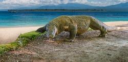 Komodo Dragon (Varanus komodoensis), Komodo National Park, Unesco World Heritage Site, Komodo Island