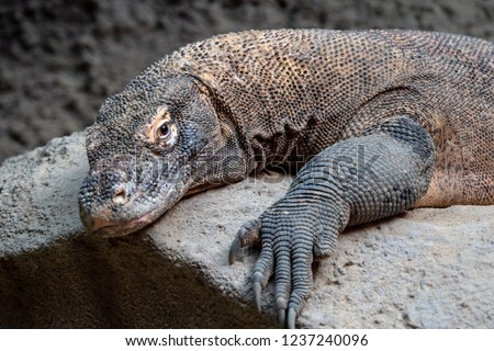 Komodo dragon, Varanus komodoensis. The largest lizard in the world is resting. #1237240096
