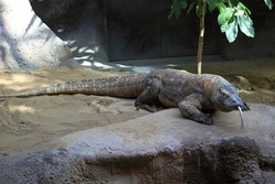 Komodo dragons are animals originating from Nusa Tenggara, Indonesia. on Komodo Island you can see live Komodo dragons