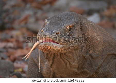 Komodo dragons ,Komodo Island, Indonesia - stock photo