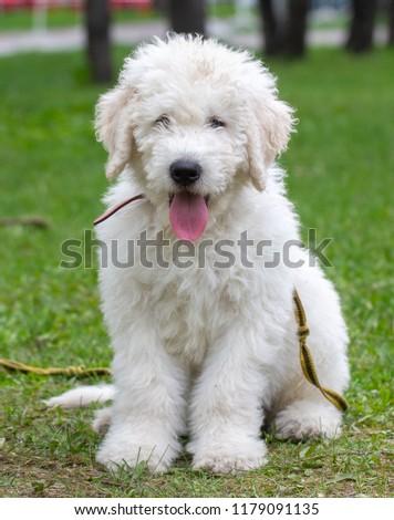 Komondor Dog, Hungarian Shepherd dog in the summer on the street for a walk