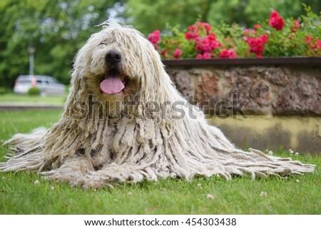Komondor (Hungarian sheepdog) laying down in the park