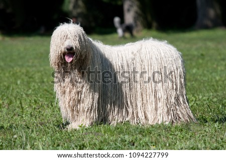 Komondor (Hungarian sheepdog) posing in the park