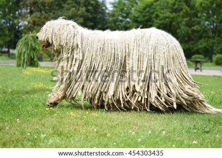 Komondor (Hungarian sheepdog) walking in the park