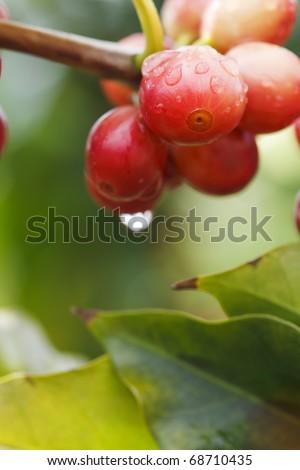 Kona Coffee Tree