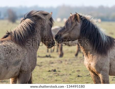 Konik horses in love in spring