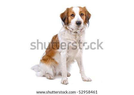 Kooiker Hound,also know as, kooikerhondje,Small Dutch Waterfowl Dog,Dutch Decoy Dog or Kooiker Dog.nickname,kooiker, isolated on a white background