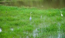 Kookaburra bird trying relax at the Udawalawa lake in Srilanka
