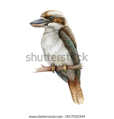 Kookaburra bird watercolor illustration. Australia native bird hand drawn realistic illustration. Single kingfisher on a branch image. Sitting kookaburra wild australian animal on white background