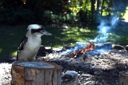 Kookaburra closeup outdoors at a campsite with a campfire background