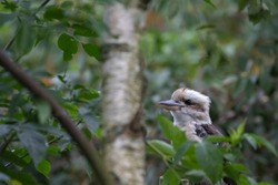 Kookaburra, Dacelo, large kingfisher perched on tree stump seen through leaves with green background during a sunny summers day.