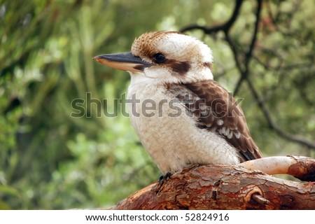 Kookaburra (Dacelo) sitting on a branch on green background