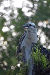 kookaburra kingfisher perched sitting on a tree stump