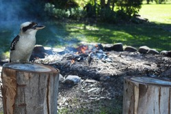 Kookaburra looking over a campfire closeup outdoors at a campsite