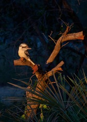 Kookaburra on tree stump at dusk
