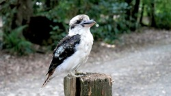 Kookaburra on tree stump camping