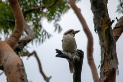 Kookaburra on tree stump surround by tree trunks
