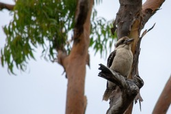 Kookaburra on tree stump with leaves in background