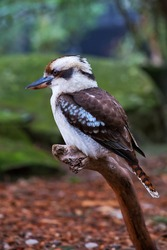 Kookaburra sitting on a branch