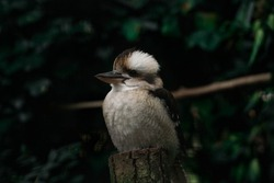 kookaburra sitting proudly on a stump with a dark green background