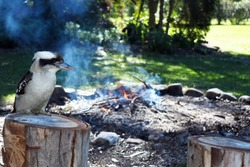 Kookaburra watching over a campfire closeup outdoors at a campsite