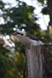 Kookaburras sitting on a branch