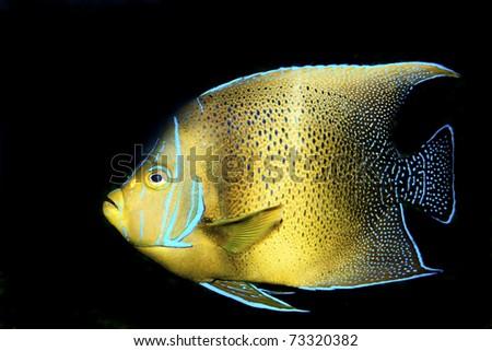 Koran Angelfish (Pomacanthus semicirculatus) in Aquarium