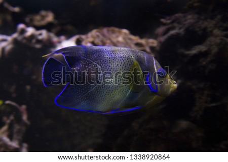 Koran angelfish, semicircle angelfish (Pomacanthus semicirculatus).