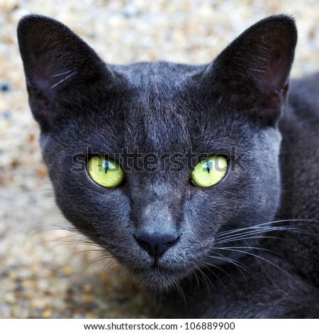 "Korat domestic cat ""the amber eyes cat""  looking at camera"