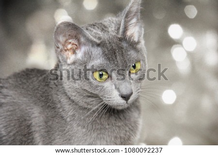 Korat kitten with bokeh background - blue cat