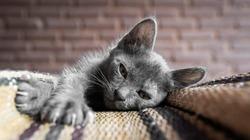 Korat Thai cats,Gray thai kitten,A gray thai kitten sleeping on a mat