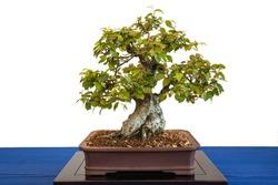Korean hornbeam (Carpinus coreana) as bonsai tree