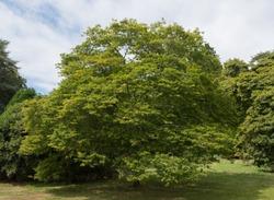 Korean Hornbeam Tree (Carpinus turczaninowii) in Parkland in Rural Devon, England, UK