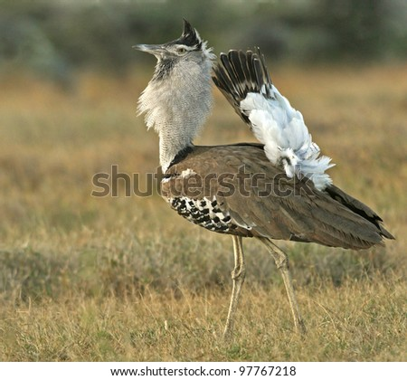 Kori bustard (Ardeotis kori) breeding display, Mpala Research Center, Laikipia, Kenya