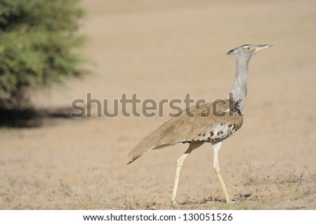 Shutterstock Kori Bustard (Ardeotis kori).Heaviest flying bird in the world, weighing as much as 19 kg.  .