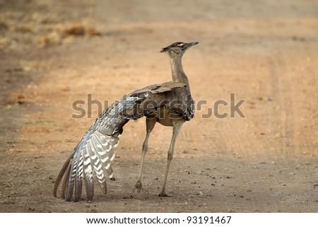 Kori Bustard in Kruger National Park doing wing stretch