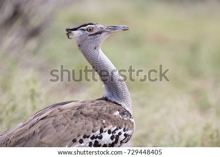 Shutterstock Kori Bustard, portrait shot of the heaviest flying bird in the world (Ardeotis kori)