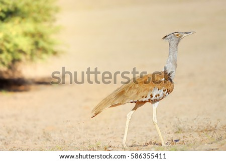 Shutterstock Kori Bustard. The heaviest flying birdin the world. . Kalahari Desert, South Africa