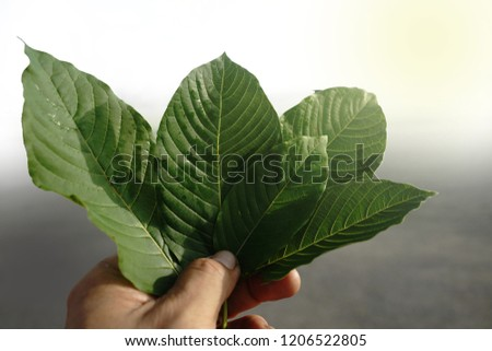 Korth leaf / Is classified as a Category 2 drug Which is illegal in some countries,It has the ability to treat certain diseases,such as diabetes.