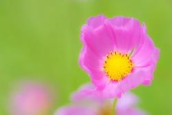Kosmeja flower