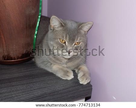 kot brytyjski liliowy Zdjęcia stock ©