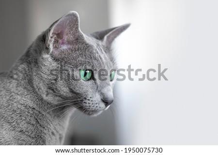 Kot Rosyjski Niebieski przy oknie. Zielone oczy. Zielonooki kot. Zdjęcia stock ©