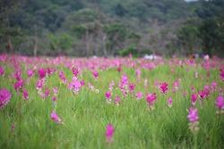 Krachiew flower field at Sai Thong National Park in Chaiyaphum, Thailand