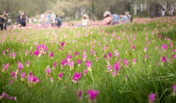 Krachiew flower field Is a tourist attraction for viewing Krachiew flowers in the season when the flowers are in full bloom in Sai Thong National Park,Chaiyaphum.