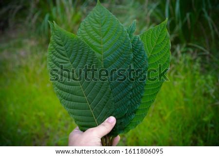 Kratom leaves Mitragyna speciosa leaf natural herbs Asian herbs, Thai herbs