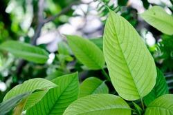 kratom plant (Mitragyna speciosa) Mitragynine on blur background ,Drugs and Narcotics,Thai herbal which encourage health