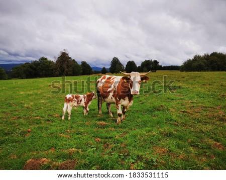 Krowa i cielątko  rasy Hareford pasąca się na pastwisku na tle pochmurnego nieba. Zdjęcia stock ©