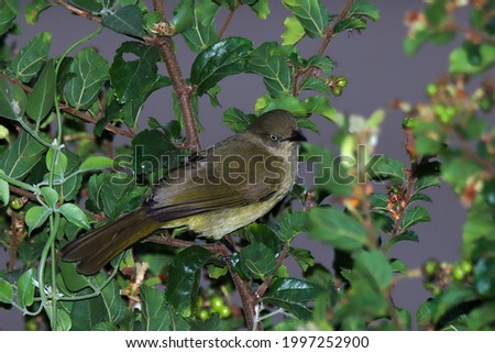 Kruger National Park, South Africa: Sombre Greenbul Photo stock ©