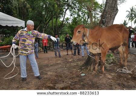 KUALA LUMPUR - NOVEMBER 6: An unidentified Malaysian Muslim cares and comforts his cow before offering it as sacrifice during Eid Al-Adha  the Feast of Sacrifice November 6, 2011 in Kuala Lumpur, Malaysia.